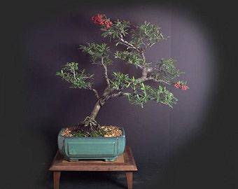Firethorn bonsai tree, mature bonsai tree collection from LiveBonsaiTree