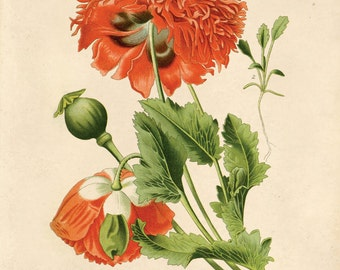 Vintage Flower Botanical Print Reproduction. Red Opium Poppy Wildflower. Garden Rose Flower Educational Chart Diagram - CP203