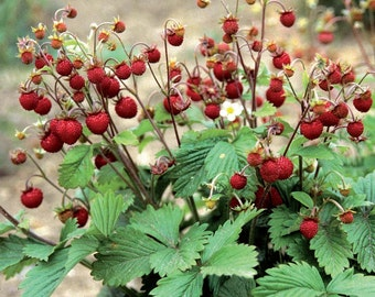 Strawberry Seeds, Red Alpine, Perennial, Gardeners Favorite, 25 Seeds