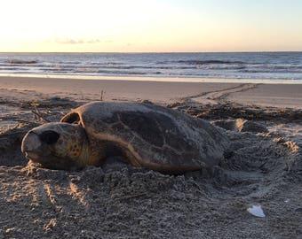 Nesting Loggerhead Sea Turtle on Sea Island