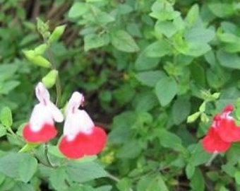 Greggii Salvia Hot Lips Red Perennial Plant Starter Plant