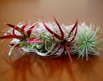 Air Plant Tillandsia Fab Five Plants for 15
