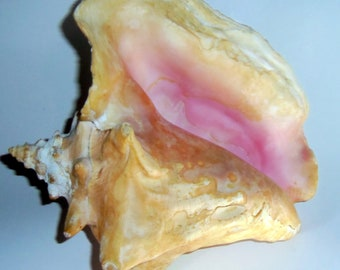 Queen Conch Shell Unknown Age