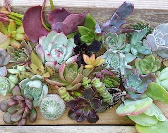 30 assorted succulent cuttings