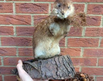 Beautifully Preserved Vintage Large Muskrat Taxidermy Wood Mount