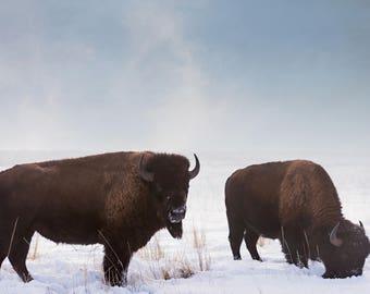 Two Buffalo Photograph, Antelope Island Utah, Photography, Digital Download Photography, Printable Art, Nature Photo, Animal Photography