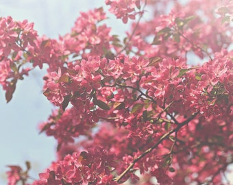 Pink Spring Blossoms Color Photo Print { sunshine, sunlight, bud, tree, spring, flowers, wall art, macro, nature & fine art photography }