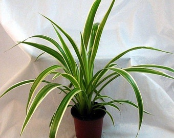 "Ocean Spider Plant - Easy to Grow - Cleans the Air - NEW - 4"" Pot  (FREE SHIPPING)"