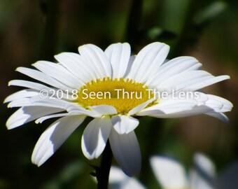 Shasta Daisy - Photographic Print