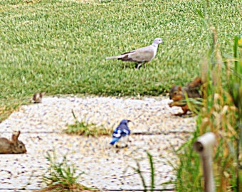 Rabbit, Sparrow, Dove, Squirrel and Bluejay having breakfast together outside my kitchen window