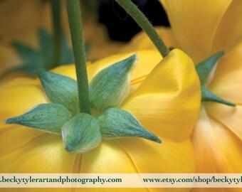 Ranunculus, Digital Photography, Fine Art Photo Print