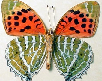 Childrena Childreni Female Rare Verso Himalayan Fritillary Real Framed Butterfly 928