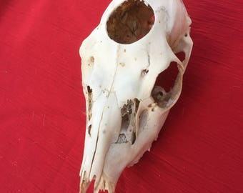 A Wild English Fallow Deer Skull ready hole cut for many art and craft projects.