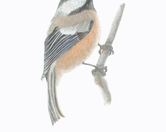Black - capped Chickadee/BIRD ILLUSTRATION/Archival Giclee Print/Ornithology,Conservation/Black-White-Gray-Rust