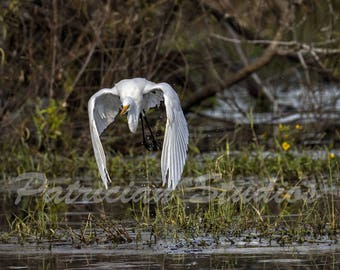 White Egret On the Wing