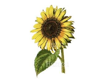Sunflower botanical print seed plant PNG clip art vintage transparent background digital stamp instant download  journal