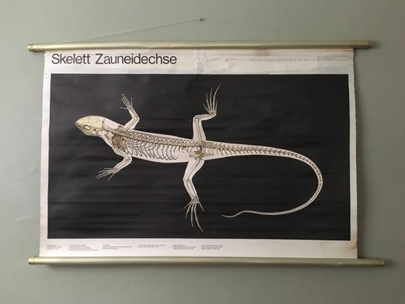 Vintage East German Educational Chart, Roll Down Poster Of A Lizard Skeleton By Volk Und Wissen, Berlin