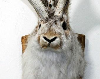 Jackalope, real rabbit with deer antlers
