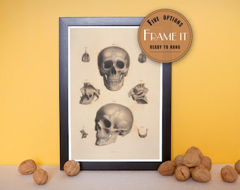 "Vintage illustration of bones of the head - framed fine art print, art of anatomy, 8""x10"" ; 11""x14"", FREE SHIPPING - 178"