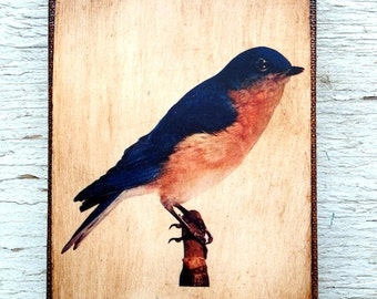 Vintage Blue Bird Specimen 1904 -  Small Wall Art