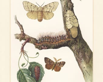 Vintage lithograph of gypsy moth, tussock moths from 1956