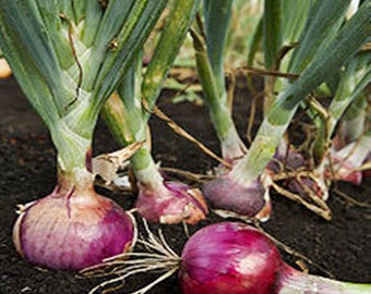 Red Burgundy Onion Heirloom Garden Seed Non-GMO Naturally Grown Open Pollinated Gardening