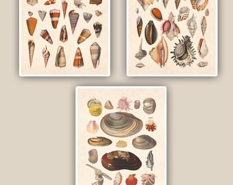 Seashells collection Prints, 8x10 nautical prints, set of 3, tea stained background,vintage shabby chic, beach cottage decor