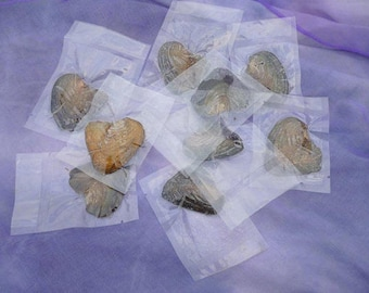10 unopened Akoya Oysters shell  pearl party Pearl opening suprise gift vacuum packed