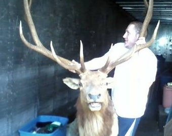 Sale-1972 Huge 12 Point Bull Elk Taxidermy-Free Shipping