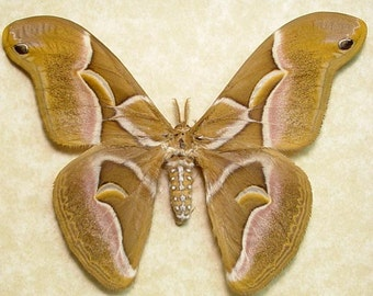 Real Framed Samia Cynthia North American Ailanthus Silk Moth 1035