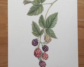 Blackberry , Watercolor , Giclee print , Botanical art
