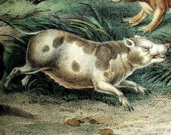 1860's ANTIQUE BOAR PECCARY engraving, hand colored engraving, Capibara, Baby Roussa,beige,brown,blue,gray,green,black,animals,mammals