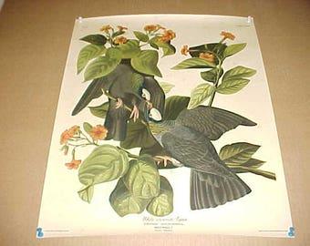 Audubon Bird Print White Crowned Pigeon From 1940s Calendar