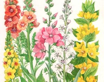 Vintage Print FLOWERS  Verbascum Lysimachia 113 chart beautiful 1960 wall art antique color lithograph illustration wild garden