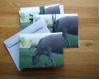 Jersey cow - Photo Notecard - Free Shipping