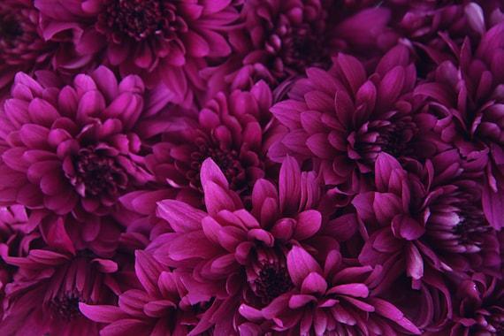 Items similar to flower photograph dark pink magenta items similar to flower photograph dark pink magenta chrysanthemums pink flowers bouquet flower photography home decor fine art enchantress on etsy mightylinksfo
