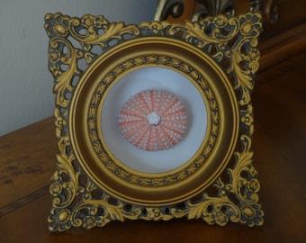 Framed Specimen, Specimen, Sea Urchin, framed shell, Sea urchin in a Vintage Italian Frame, Florentine Frame