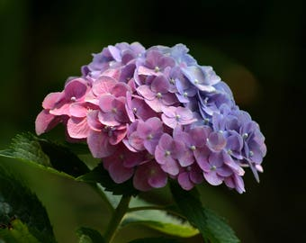 Multi-color Hydrangea Downloadable Digital Photo