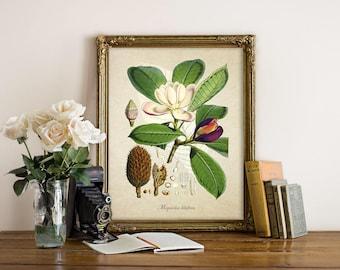 Botanical Print, Magnolia Print, Magnolia Botanical Print, Home Decor, Antique Flower Print, Magnolia Botanical Reproduction FL113
