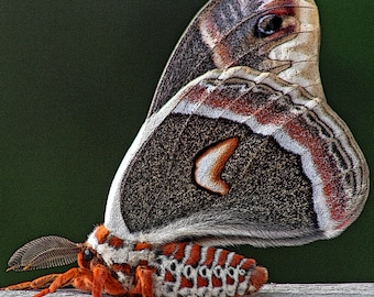 Calm Cecropia Moth