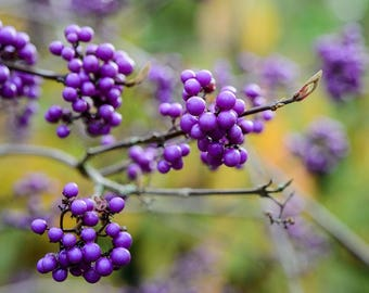 15 Seeds Callicarpa bodinieri , Beautyberry  Profusion Seeds
