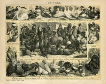 Poster Print Poultry Thanksgiving Turkey Chicken Duck Guinea Hen  Fowl 8x10 to 24x30 1800s Repro