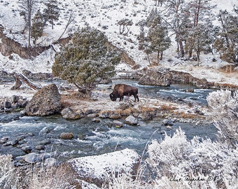 Bison on an Island, Wildlife Photography