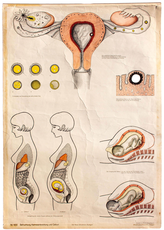 Ausgezeichnet Diagramm Der Inneren Organe Weibliche Menschliche ...