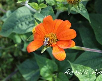 Orange Flower with Bee- Elizabeth Park- Original Photograph