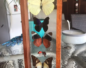 Beautiful antique butterfly display taxidermy glass