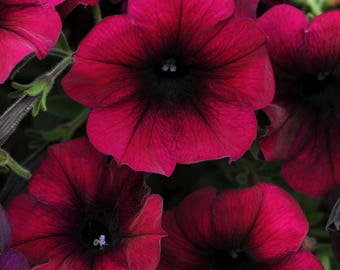 Easy Wave BURGUNDY VELOUR Petunia - Trailing/Spreading Variety, Fresh Seed (10 seeds)