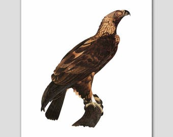 "Eagle Wall Decor, Americana Art Print (Bird Print, Home Office Artwork) -- ""Golden Eagle"" 19th Century"