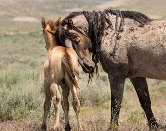 Wild Stallion Montie of Sand Wash Basin with his Young Colt Poker, Wild Horse Photography, wild horses, red roan wild mustang, wild stallion