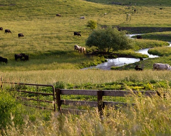 Cow Photography, Cattle Fine Art Print, Country Landscape, Midwest Nature Photography, Farm Wall Art, Wisconsin, Sunset at the Pasture